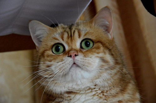 Barkli Golden Vavilon Cat